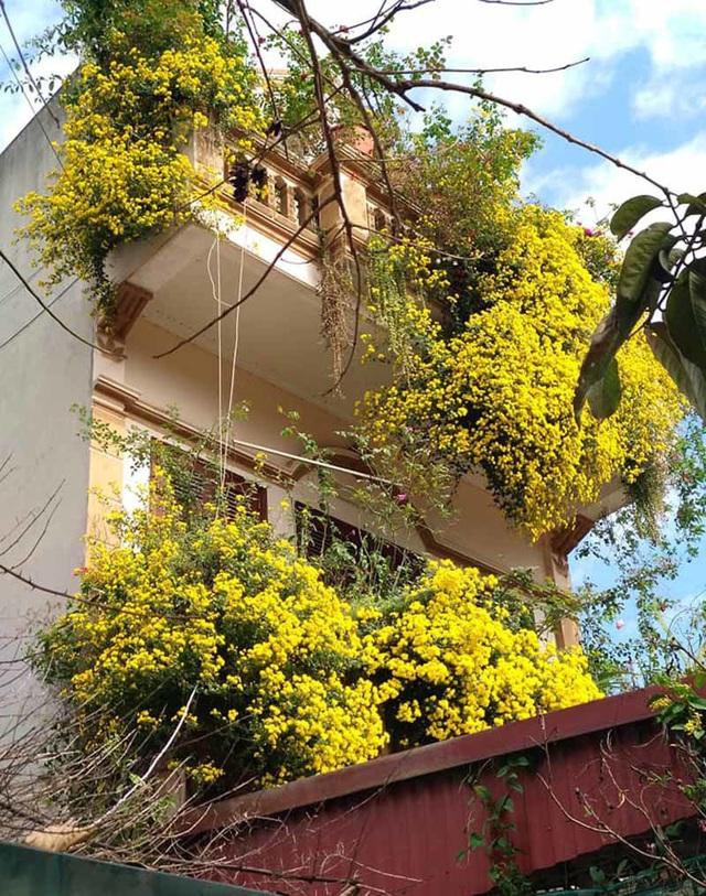 Hoa cúc dài 2 mét, hàng vạn bông rực vàng phủ kín 4 tầng nhà - Ảnh 5.