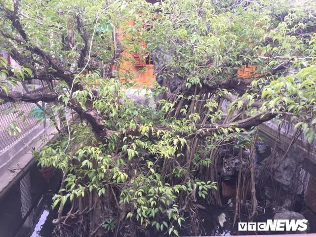 Cận cảnh cây sanh giá chục tỷ đồng của bạo chúa miền Trung - Ảnh 3.