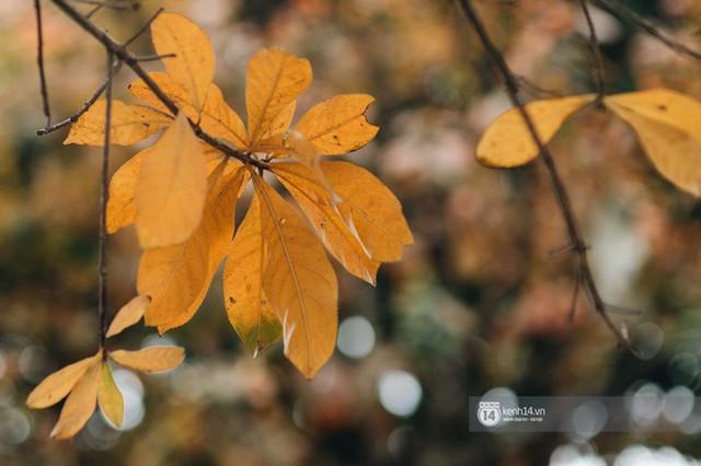 Hà Nội những ngày mùa xuân lá đỏ lá vàng: Đẹp mãi thế này thì khỏi cần đi Hàn hay Nhật luôn nhỉ? - Ảnh 7.