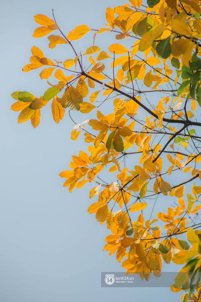 Hà Nội những ngày mùa xuân lá đỏ lá vàng: Đẹp mãi thế này thì khỏi cần đi Hàn hay Nhật luôn nhỉ? - Ảnh 10.