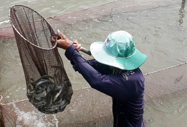 Cận Tết, cá kèo tăng giá mạnh, người nuôi lãi nửa tỉ/ha - Ảnh 1.