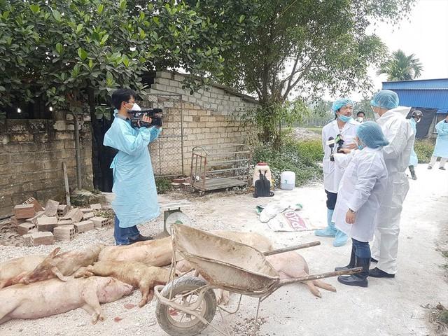 Hải Phòng tổ chức tiêu hủy đàn lợn bị dịch tả Châu Phi - Ảnh 1.