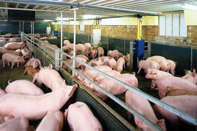 Chưa đầy 1 tháng, dịch tả lợn châu Phi đã lan ra 12 tỉnh - Ảnh 1.