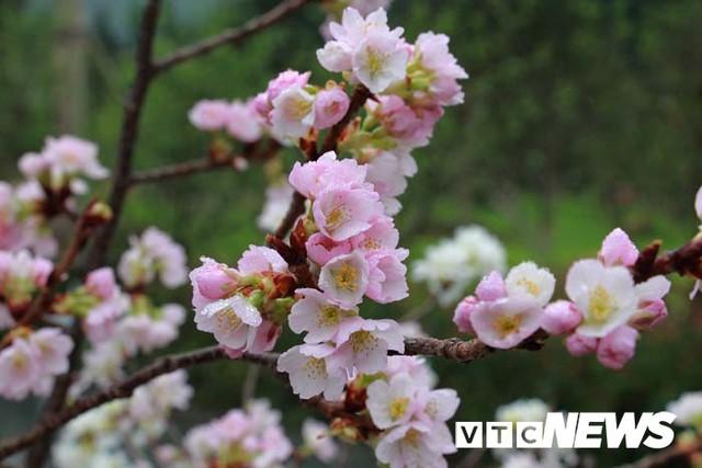 Ảnh: Ngắm hoa anh đào Nhật Bản, mai vàng đua sắc ở non thiêng Yên Tử - Ảnh 2.