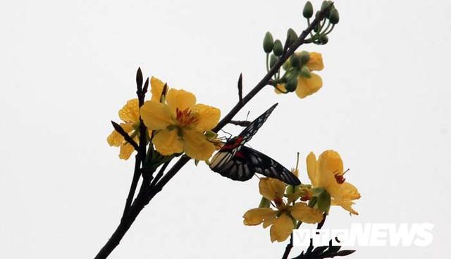 Ảnh: Ngắm hoa anh đào Nhật Bản, mai vàng đua sắc ở non thiêng Yên Tử - Ảnh 14.