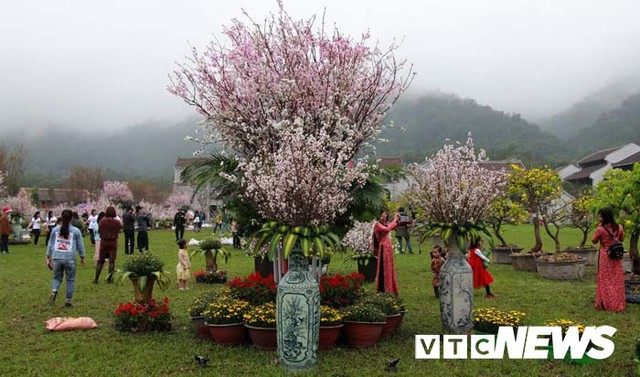 Ảnh: Ngắm hoa anh đào Nhật Bản, mai vàng đua sắc ở non thiêng Yên Tử - Ảnh 15.