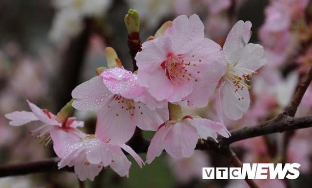 Ảnh: Ngắm hoa anh đào Nhật Bản, mai vàng đua sắc ở non thiêng Yên Tử - Ảnh 16.