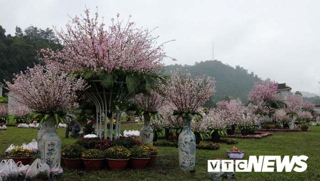 Ảnh: Ngắm hoa anh đào Nhật Bản, mai vàng đua sắc ở non thiêng Yên Tử - Ảnh 17.