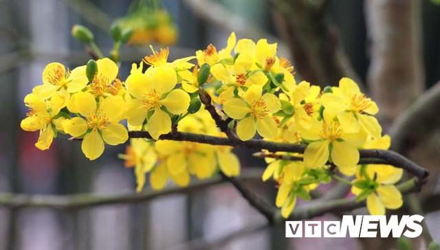Ảnh: Ngắm hoa anh đào Nhật Bản, mai vàng đua sắc ở non thiêng Yên Tử - Ảnh 3.