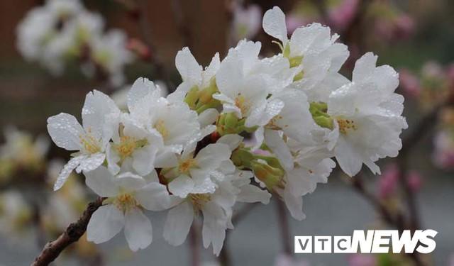 Ảnh: Ngắm hoa anh đào Nhật Bản, mai vàng đua sắc ở non thiêng Yên Tử - Ảnh 4.