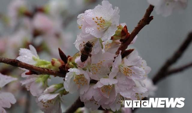 Ảnh: Ngắm hoa anh đào Nhật Bản, mai vàng đua sắc ở non thiêng Yên Tử - Ảnh 5.