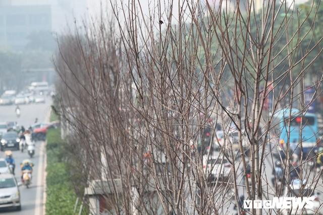 Cận cảnh hàng phong lá đỏ như chết khô khiến Chủ tịch Hà Nội lên tiếng - Ảnh 3.