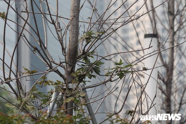 Cận cảnh hàng phong lá đỏ như chết khô khiến Chủ tịch Hà Nội lên tiếng - Ảnh 4.