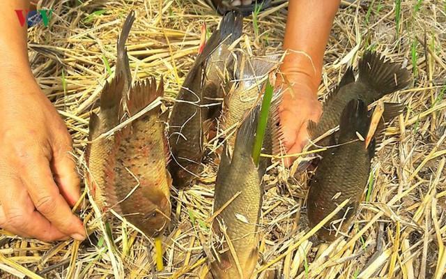Thu tiền triệu từ cá đồng thiên nhiên nơi Đất Mũi – Cà Mau - Ảnh 8.