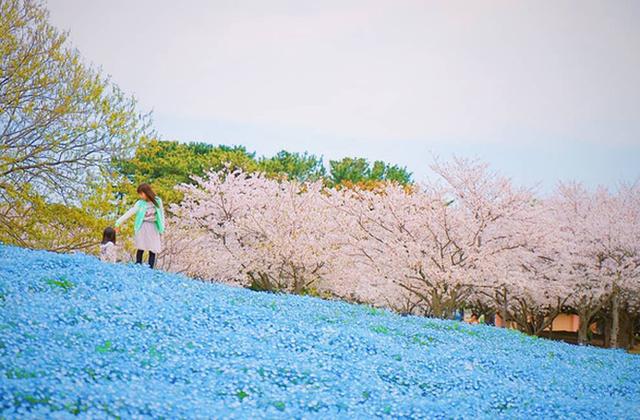 Thiên đường hoa gây sốt Nhật Bản: Hàng cây anh đào kết hợp rừng hoa mắt xanh đẹp như một giấc mơ - Ảnh 5.