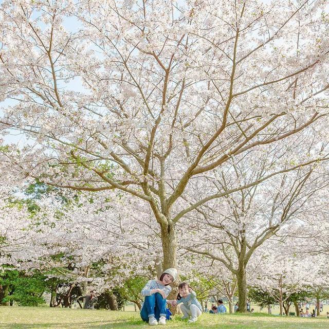 Thiên đường hoa gây sốt Nhật Bản: Hàng cây anh đào kết hợp rừng hoa mắt xanh đẹp như một giấc mơ - Ảnh 7.
