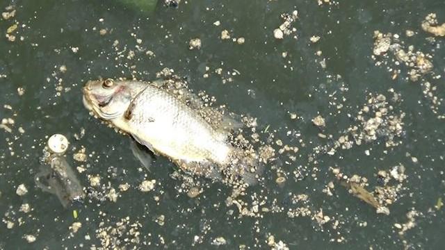 Cá lại chết nổi trắng kênh Nhiêu Lộc - Thị Nghè sau mưa  - Ảnh 12.