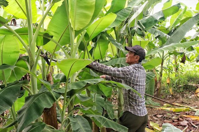 Lá chuối thay nilon, người dân kiếm bạc triệu từ nghề chặt lá chuối - Ảnh 8.