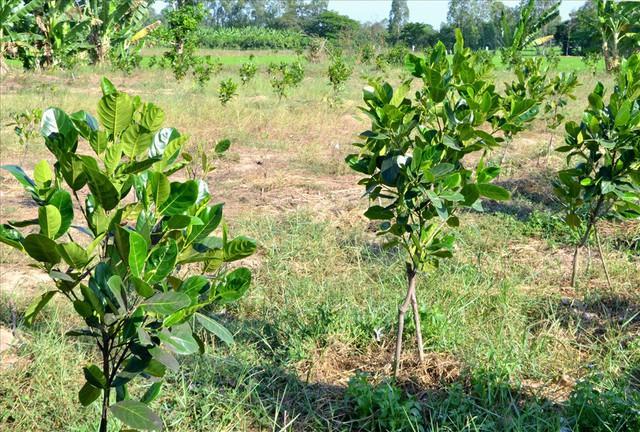 Nông dân trồng mít Thái trên đất lúa: Ồ ạt dễ dẫn đến kết quả thảm bại - Ảnh 1.