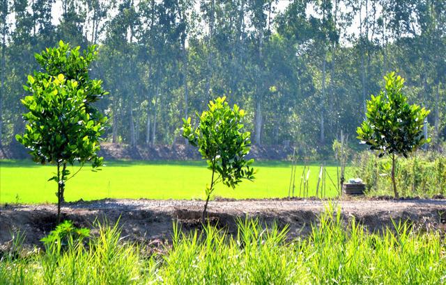 Nông dân trồng mít Thái trên đất lúa: Ồ ạt dễ dẫn đến kết quả thảm bại - Ảnh 2.