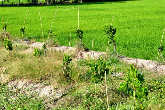 Nông dân trồng mít Thái trên đất lúa: Ồ ạt dễ dẫn đến kết quả thảm bại - Ảnh 3.