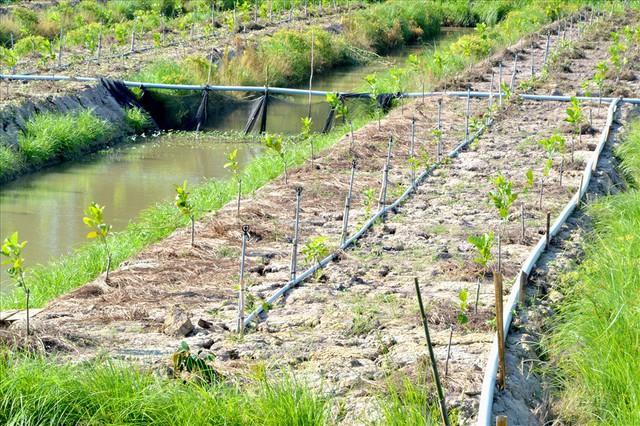 Nông dân trồng mít Thái trên đất lúa: Ồ ạt dễ dẫn đến kết quả thảm bại - Ảnh 6.