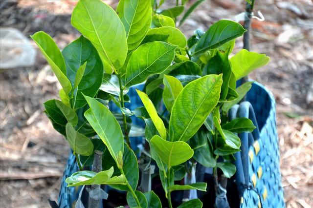 Nông dân trồng mít Thái trên đất lúa: Ồ ạt dễ dẫn đến kết quả thảm bại - Ảnh 9.