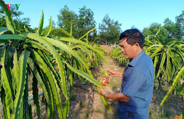 Tăng giá điện, người trồng Thanh Long đứng ngồi không yên - Ảnh 1.