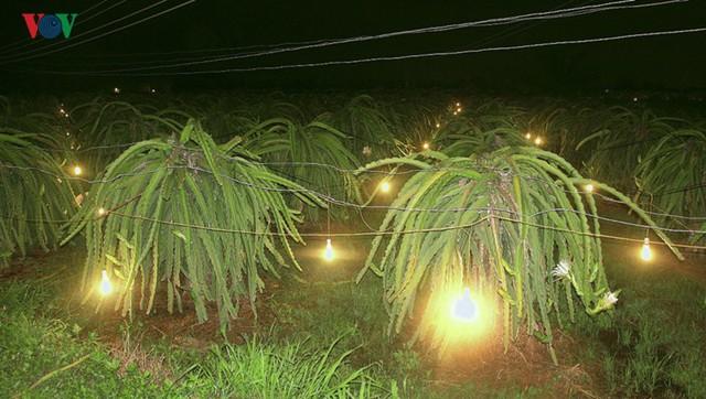 Tăng giá điện, người trồng Thanh Long đứng ngồi không yên - Ảnh 2.