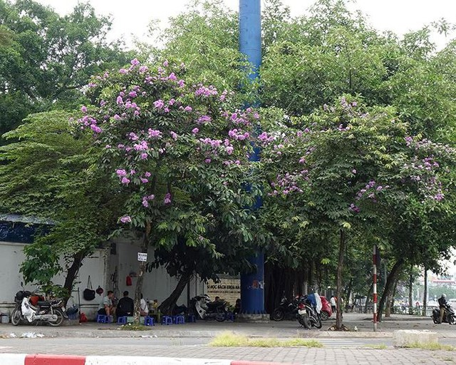 Hoa sữa, hoa phượng cùng bằng lăng nở rộ đường phố Hà Nội - Ảnh 13.