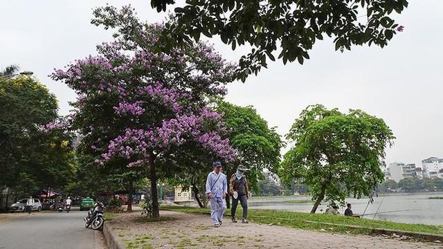 Hoa sữa, hoa phượng cùng bằng lăng nở rộ đường phố Hà Nội - Ảnh 3.
