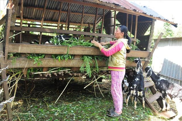 Giá dê cao kỷ lục, người dân Bình Phước đổ xô… nuôi dê - Ảnh 1.