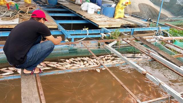 Người nuôi cá bè trên sông Tiền khốn đốn vì cá chết bất thường - Ảnh 1.
