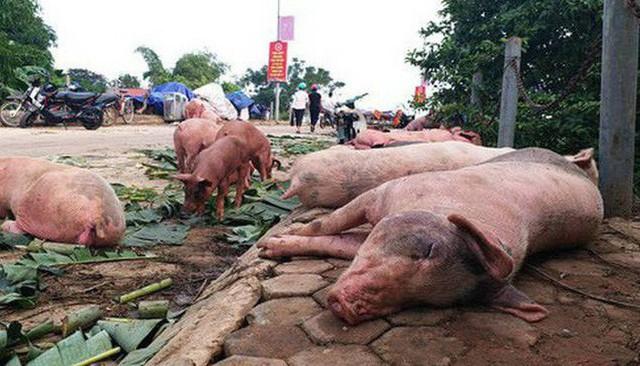 Dịch tả lợn châu Phi tại Hà Nội vẫn diễn biến phức tạp  - Ảnh 1.
