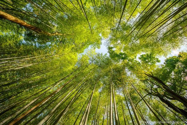 Lạc lối giữa mê cung xanh mướt của rừng tre Sagano: Nơi chứa đựng những âm thanh tinh túy cả Nhật Bản đều muốn bảo tồn - Ảnh 5.