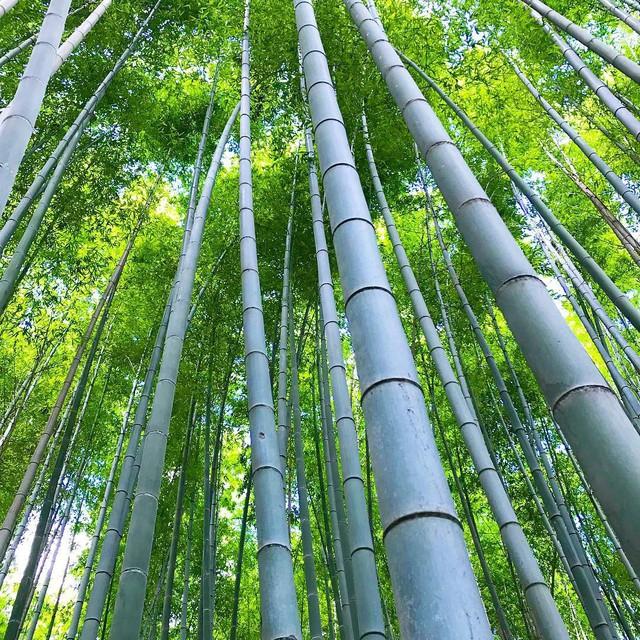 Lạc lối giữa mê cung xanh mướt của rừng tre Sagano: Nơi chứa đựng những âm thanh tinh túy cả Nhật Bản đều muốn bảo tồn - Ảnh 14.