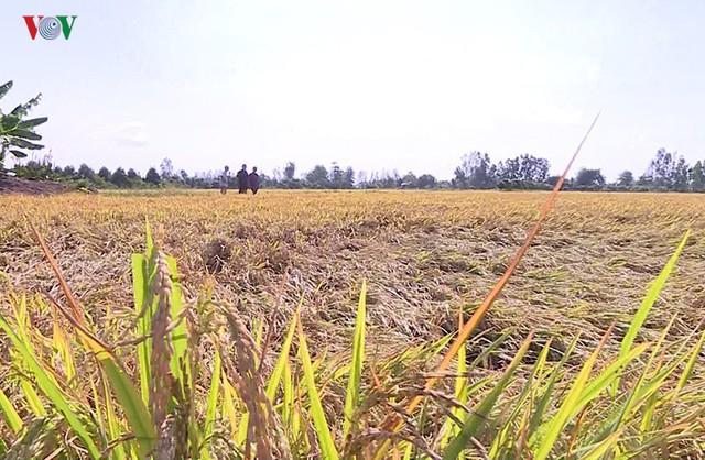 Hàng trăm ha lúa ở Thanh Hóa có nguy cơ mất trắng do nắng nóng - Ảnh 1.