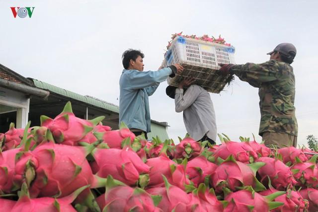 Bình Thuận: Thanh long chính vụ được giá - Ảnh 1.