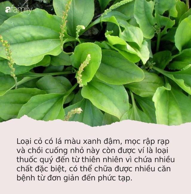 """Loại cỏ """"siêu quyền lực"""" mọc hoang ở Việt Nam: Giúp cai nghiện thuốc lá, ức chế tế bào ung thư và nhiều bệnh khác - Ảnh 1."""