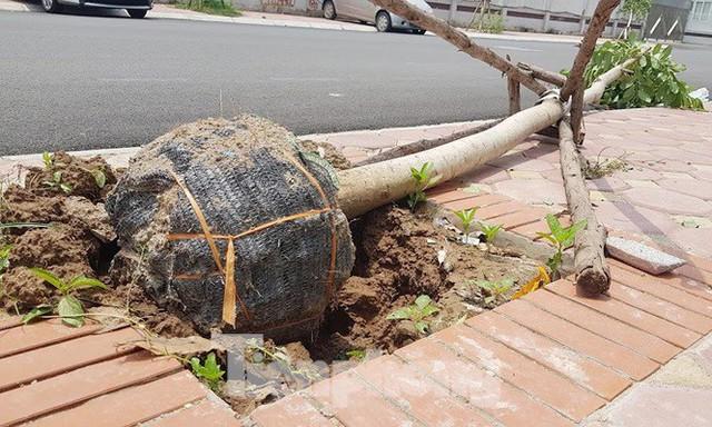 Xôn xao loạt cây xanh bật gốc lộ nguyên vỏ bọc rễ sau mưa dông ở Linh Đàm - Ảnh 3.