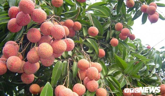 Giá vải cao nhất lịch sử, nông dân Lục Ngạn trở thành triệu phú - Ảnh 3.