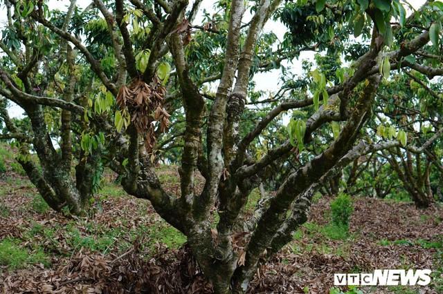 Giá vải cao nhất lịch sử, nông dân Lục Ngạn trở thành triệu phú - Ảnh 4.