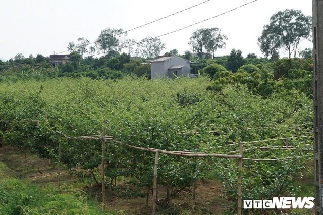 Giá vải cao nhất lịch sử, nông dân Lục Ngạn trở thành triệu phú - Ảnh 5.