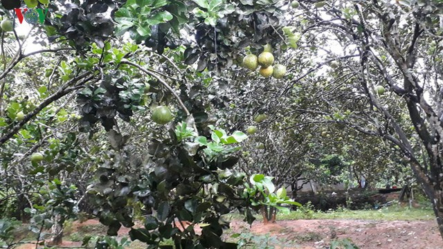 Người dân Hòa Ninh giàu lên từ cây bưởi - Ảnh 1.