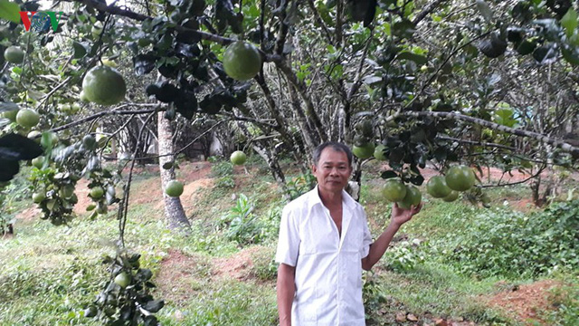 Người dân Hòa Ninh giàu lên từ cây bưởi - Ảnh 2.
