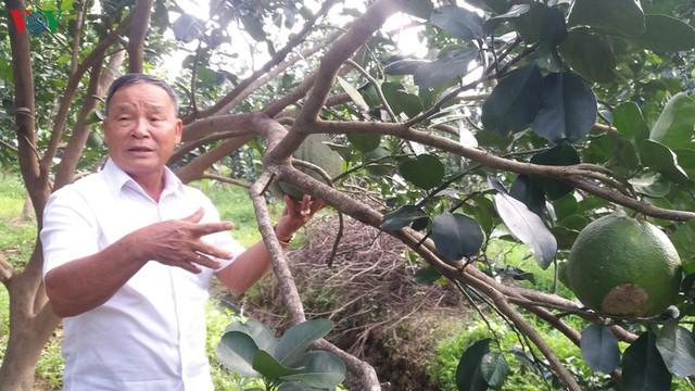 Lão nông Bến Tre đổi đời nhờ trồng bưởi da xanh - Ảnh 1.
