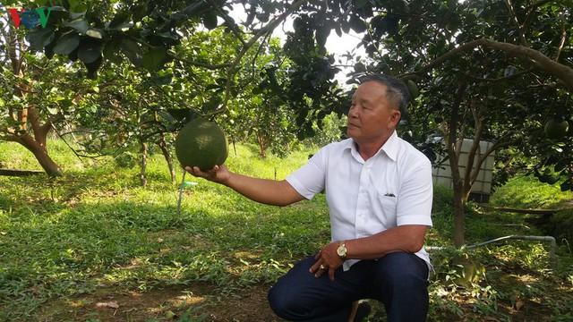 Lão nông Bến Tre đổi đời nhờ trồng bưởi da xanh - Ảnh 2.