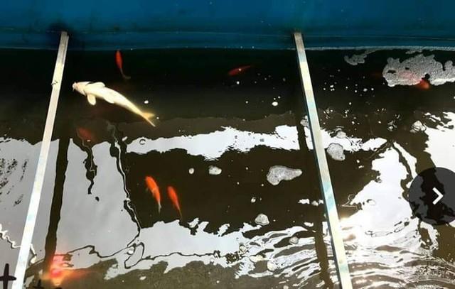 Cá Koi chết tại sông Tô Lịch nghi bị phá hoại - Ảnh 1.