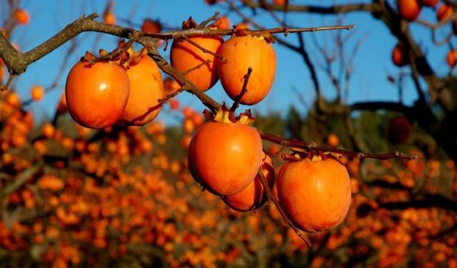 Loại quả chỉ có vào mùa thu, trông giống như cà chua ăn vừa ngon lại có thể chữa khỏi một loạt bệnh! - Ảnh 4.