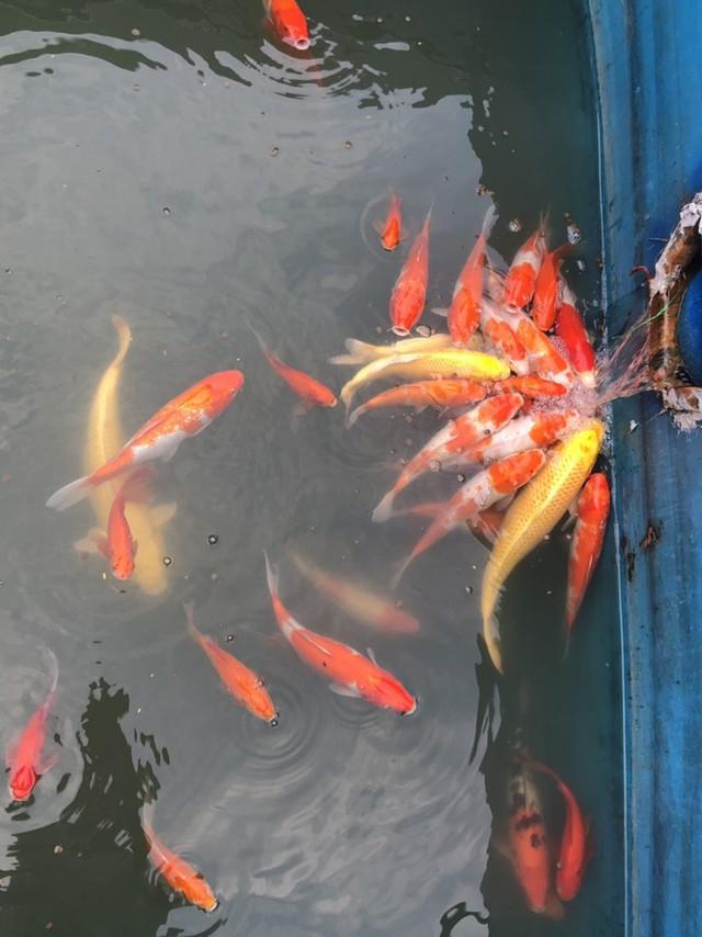 Cá Koi chết tại sông Tô Lịch nghi bị phá hoại - Ảnh 7.